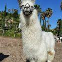 Necky Llamas