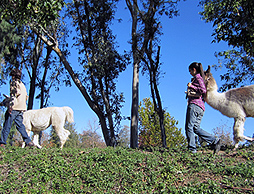 Plano Llama Walks