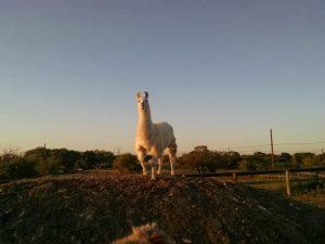 dalai-claims-llama-mountain
